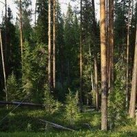 Вечер в лесу. :: Galina S*