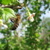Пчела :: Анна Сырица