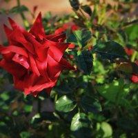 Мои испанские розы :: Елена Олейникова