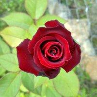 Роза :: Марина Ворошко (Митьковец)