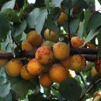 абрикосы :: Зоя Мишина