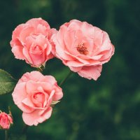 В стране роз :: Iulia Efremova