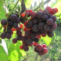 "Сорт винограда ""Рошфор"" :: Gen Vel"