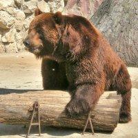 Медведь баловень :: Александр Бойченко