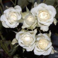 розы :: Валерий Самородов