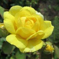 Роза желтая :: Елена Павлова (Смолова)