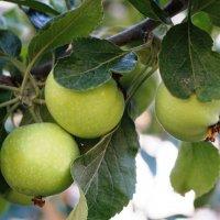 Яблочки наливные :: Лариса Рогова