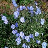 Цвел чудесными цветами мягкий, нежный Лён :: Елена Павлова (Смолова)
