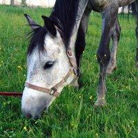 Лошадь, жующая траку :: Юлия Ошуркова