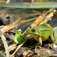 a frog :: NICKIII Михаил Г.