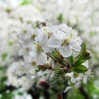 Яблони в цвету, весны творенье. :: Татьяна