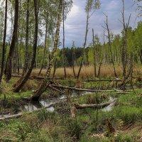 Бобровые лесоразработки :: Андрей Николаевич Незнанов