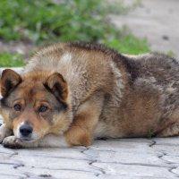 Влюблённый пёс :: galina tihonova