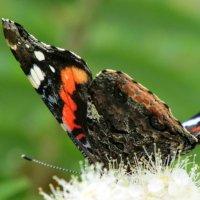 Бабочка Адмирал :: OLLES