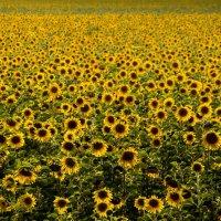 Алтайское поле :: Виктор Четошников