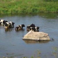 Коровы, переходящие реку :: OLLES
