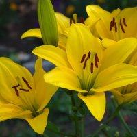 Желтые лилии :: lady v.ekaterina