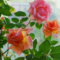 Розы. :: Николай Тишкин