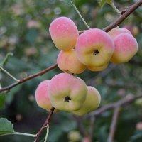 Райские яблочки :: Валентина
