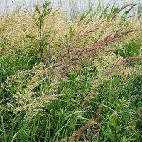 Травы, травы... :: Маргарита Батырева