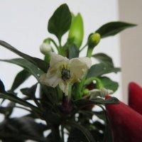 Цветок красного жгучего перца :: Natalia Harries