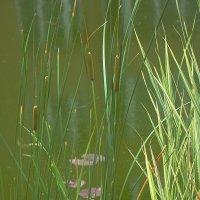 Пруд с отражением и рыбками :: Syntaxist (Светлана)