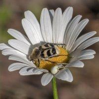 На цветке :: Александр Смирнов