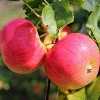 Жаркое лето с румянцем яблок :: Екатерина