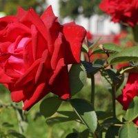 Роза :: Валерий