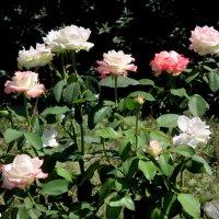 Куст роз :: Нина Бутко