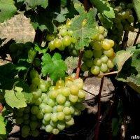Монастырский виноградник :: Нина Бутко