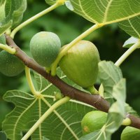 Плоды инжира :: Alm Lana