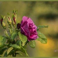 Роза :: Марина Никулина