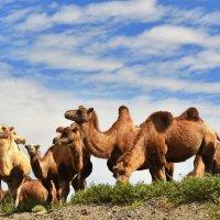 Верблюды в степи :: Константин Симонов