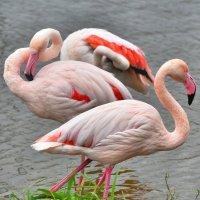 Фламинго :: Татьяна Каневская