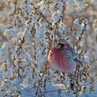 Урагус или длиннохвостый снегирь :: Екатерина Торганская