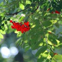 Сквозь ветви и гроздья рябины на тихое небо гляжу.... :: Tatiana Markova