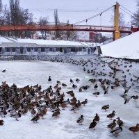 Зимующие утки на Орлике :: Александр Бойченко