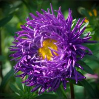 Фиолетовая астра :: lady v.ekaterina