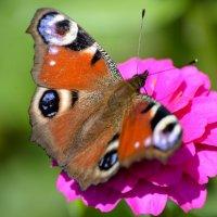 Бабочка :: Евгений Ломко