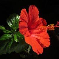 Гибискус цветет. :: Nata