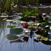 Цветы на воде :: Яша Баранов