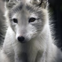 Мы больше не волки... :: Анастасия Михалева