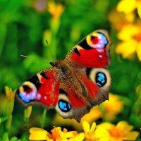 Бабочки 3. :: Александр Зуев