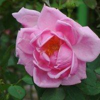 Роза :: Маргарита Батырева