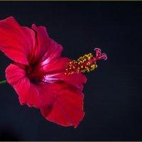 Hibiscus rosa-sinensis :: Georgy Kalyakin