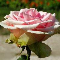 Ещё цветут на клумбах розы :: Милешкин Владимир Алексеевич