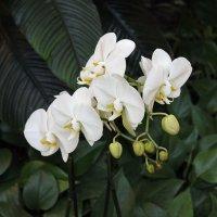 Орхидея :: dindin