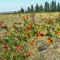 ......... дикий шиповник Краше садовых роз..... :: Варвара