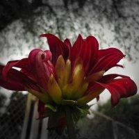 Алый цветок :: Ирина